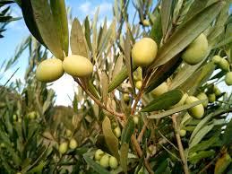 olives30min
