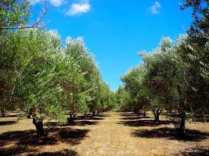 olivetreefollowup